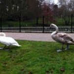 Mute Swan and Signet-min