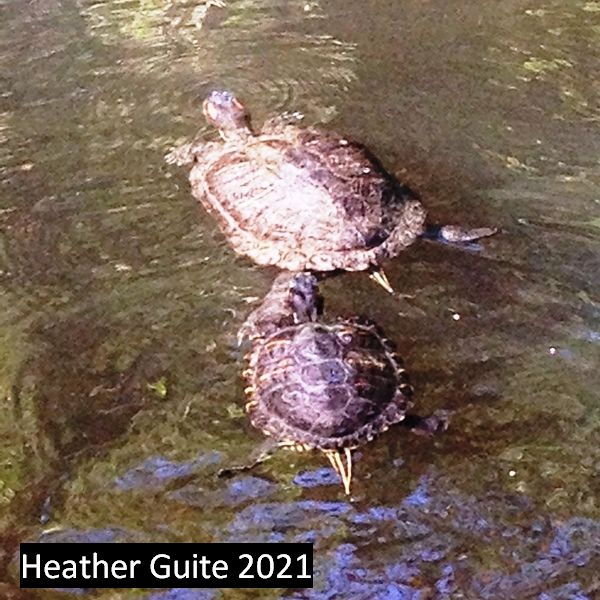 Terrapins in the Park